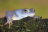 Moor frog Rana arvalis plavček_MG_3113-111.jpg
