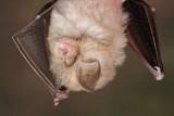 Lesser horseshoe bat Rhinolophus hipposideros mali podkovnjak_MG_2182-111.jpg