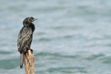 Pygmy cormorant Microcarbo pygmeus pritlikavi kormoran_MG_3307-111.jpg