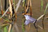 Moor frog Rana arvalis plavček_MG_2942-111.jpg