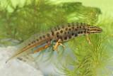 Smooth newt Lissotrition (Triturus) vulgaris navadni pupek_MG_2700-111.jpg