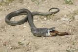 Hungry grass snake lačna belouška_MG_27031-111.jpg