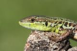 Balkan wall lizard Podarcis tauricus  balkanska kuščarica _MG_3440-111.jpg