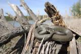 Grass snake Natrix natrix belouška_MG_3167-111.jpg