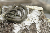 Grass snake Natrix natrix belouška_MG_3800-111.jpg
