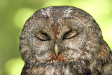 Tawny owl Strix aluco lesna sova_MG_3895-111.jpg
