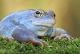 Moor frog Rana arvalis plavček_MG_2872-111.jpg