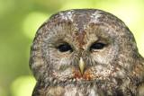 Tawny owl Strix aluco lesna sova_MG_3894-111.jpg