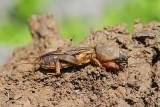European mole cricket Gryllotalpa gryllotalpa bramor_MG_4333-111.jpg