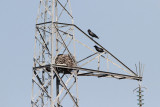 Common raven at nest Corvus corax krokar pri gnezdu_MG_4135-111.jpg
