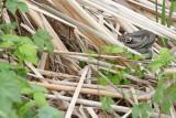 Grass snake Natrix natrix belouška_MG_3768-111.jpg