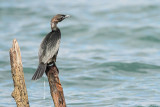 Pygmy cormorant Microcarbo pygmeus pritlikavi kormoran_MG_3314-111.jpg
