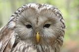 Ural owl Strix uralensis kozača_MG_3878-111.jpg