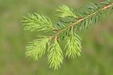 Norway spruce Picea abies smreka_MG_3616-111.jpg