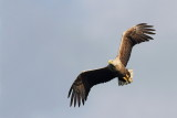 White tailed eagle Haliaeetus albicilla belorepec_MG_5145-111.jpg