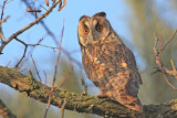 Long-eared owl Asio otus mala uharica_MG_4733-111.jpg