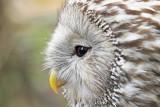 Ural owl Strix uralensis kozača_MG_3854-111.jpg