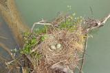 Yellow-legged gull nest gnezdo rumenonogega galeba_MG_4162-111.jpg