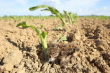 Young lapwing on corn field mladič pribe na koruznerm polju_MG_40611-111.jpg