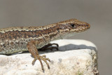 Horvath's rock lizard Iberolacerta horvathi horvatova kuščarica_MG_6935-111.jpg