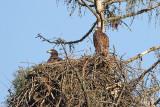 Youngs white tailde eagle on the nest mlada belorepca na gnezdu_MG_5148-111.jpg