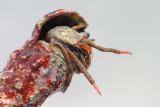 Hermit crab rak samotar_MG_7690-111.jpg