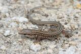 Young Italian wall lizard Podarcis siculus mlada primorska kuščarica_MG_7758-111.jpg