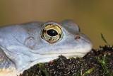 Moor frog Rana arvalis plavček_MG_3115-111.jpg