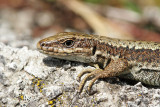 Horvath's rock lizard Iberolacerta horvathi horvatova kuščarica_MG_6908-111.jpg