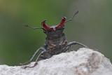Stag beetle Lucanus cervus veliki rogač_MG_7922-111.jpg