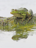 Edible frog Pelophylax (Rana) kl. esculentus zelena žaba_MG_7557-11.jpg