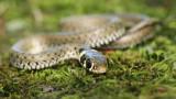 Grass snake Natrix natrix belouška_MG_3588-111.jpg