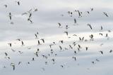 Flock jata_MG_5521-111.jpg