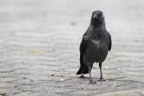 Jackdaw Corvus monedula kavka_MG_5946-111.jpg