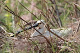 Eurasian spoonbill Platalea leucorodia žličarka_MG_2849-11.jpg