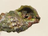 Hermit crab rak samotar_MG_7709-111.jpg