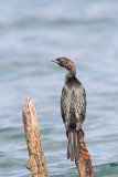 Pygmy cormorant Microcarbo pygmeus pritlikavi kormoran_MG_3321-11.jpg