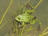 Green frog excrement Iztrebek zelene žabe_MG_4561-111.jpg
