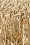 Barley Hordeum vulgare ječmen_MG_7577-11.jpg