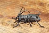 Long-horned beetle Morimus funereus bukov kozliček_MG_9052-11.jpg