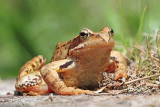 Common frog Rana temporaria sekulja_MG_0374-111.jpg