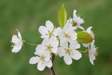 Wild cherry Prunus avium divja češnja_MG_2504-111.jpg