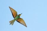European bee-eater Merops apiaster čebelar_MG_76251-111.jpg