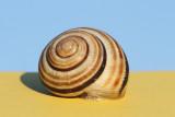 Grove snail Cepaea nemoralis mali vrtni polž_MG_9465-111.jpg