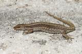 Horvath's rock lizard Iberolacerta horvathi horvatova kuščarica_MG_6895-111.jpg