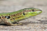 Italian wall lizard Podarcis siculus primorska kuščarica_MG_7754-111.jpg
