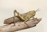 Egyptian locust Anacridium aegyptium egipčanska kobilica_MG_7719-111.jpg