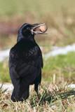 Rook with nut Corvus frugulegus poljska vrana z orehom_MG_2817-11.jpg