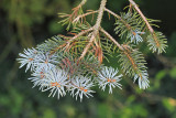 Blue spruce Picea pungens_MG_9622-111.jpg