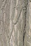 Bark of black locust lubje robinije_MG_9566-11.jpg